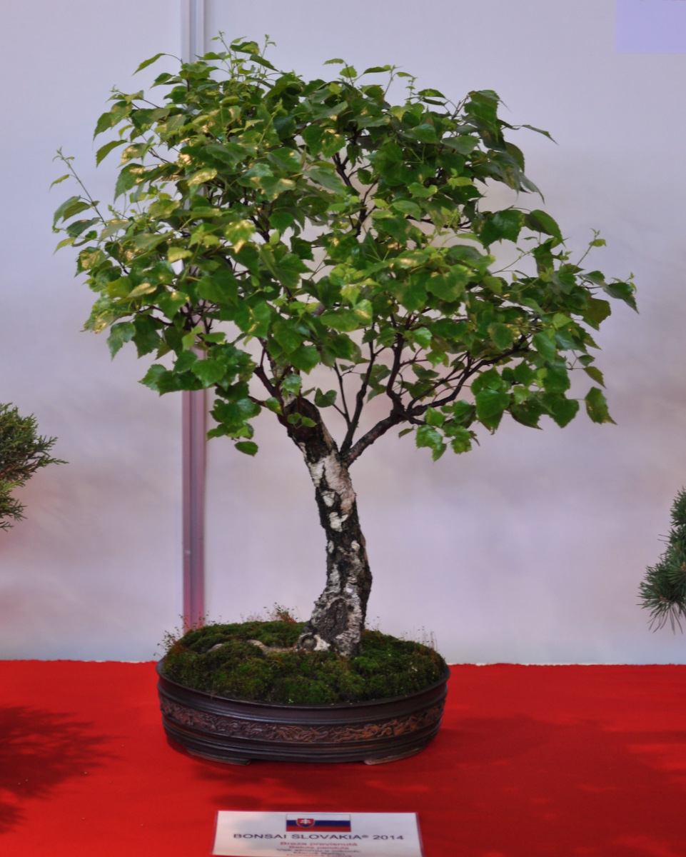 Maros Bonsai Blog Anniversary