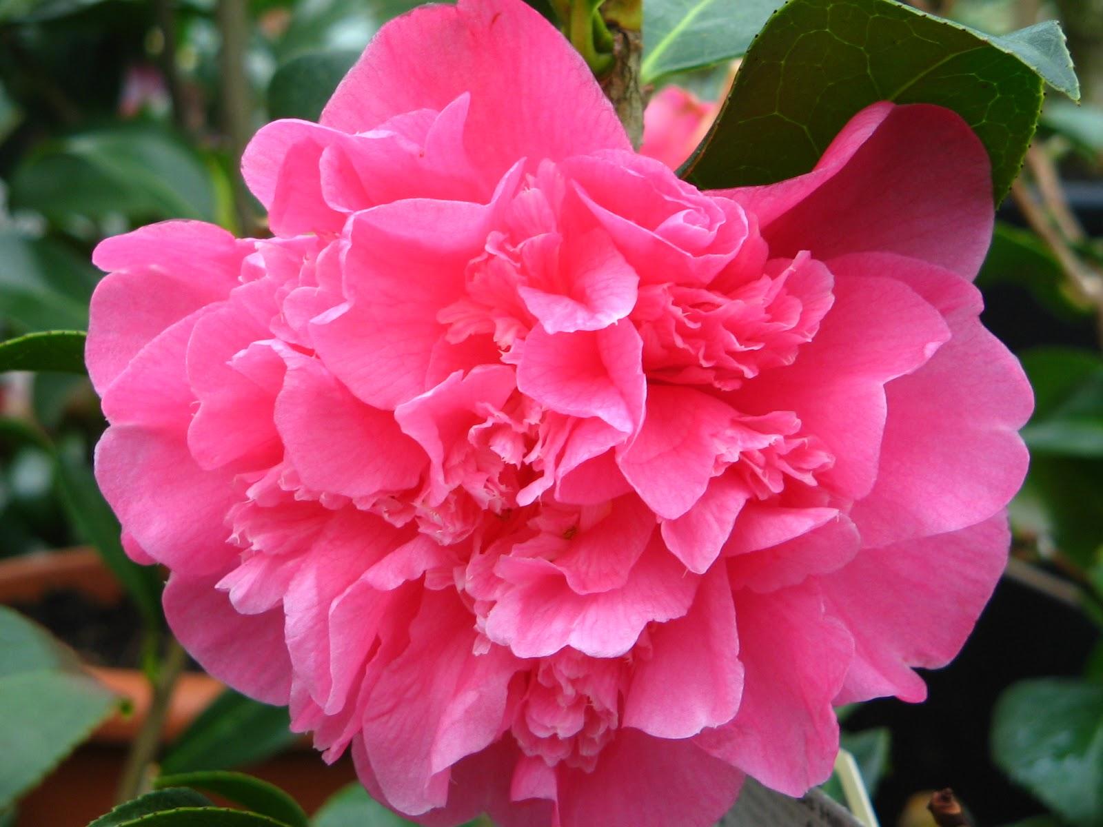 Camellia flowers world - Camelia planta ...