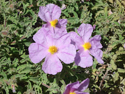Cistus Creticus (Cistus Incanus)