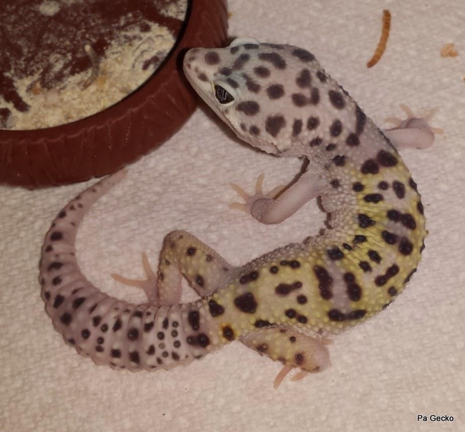 PA Gecko