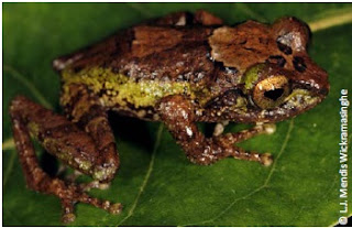 Dayawansa's Shrub Frog, Pseudophilautus dayawansai, endemic frog, sri lanka, herpetofauna in sri lanka