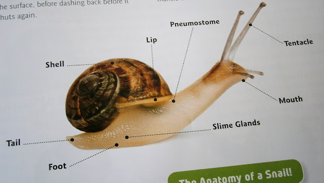 snail information sheet anatomy