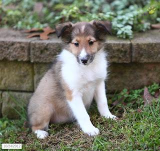 Cute Puppy Dogs: Shetland Sheepdog Puppies