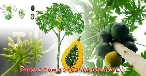 Herbal | Pepaya flowers | Carica papaya