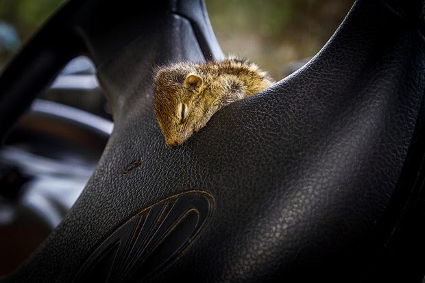 baby palm squirrel