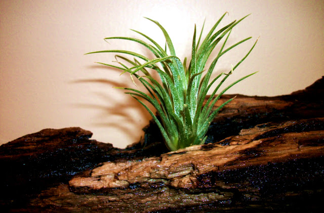 Tillandsia Air Plant Ionantha