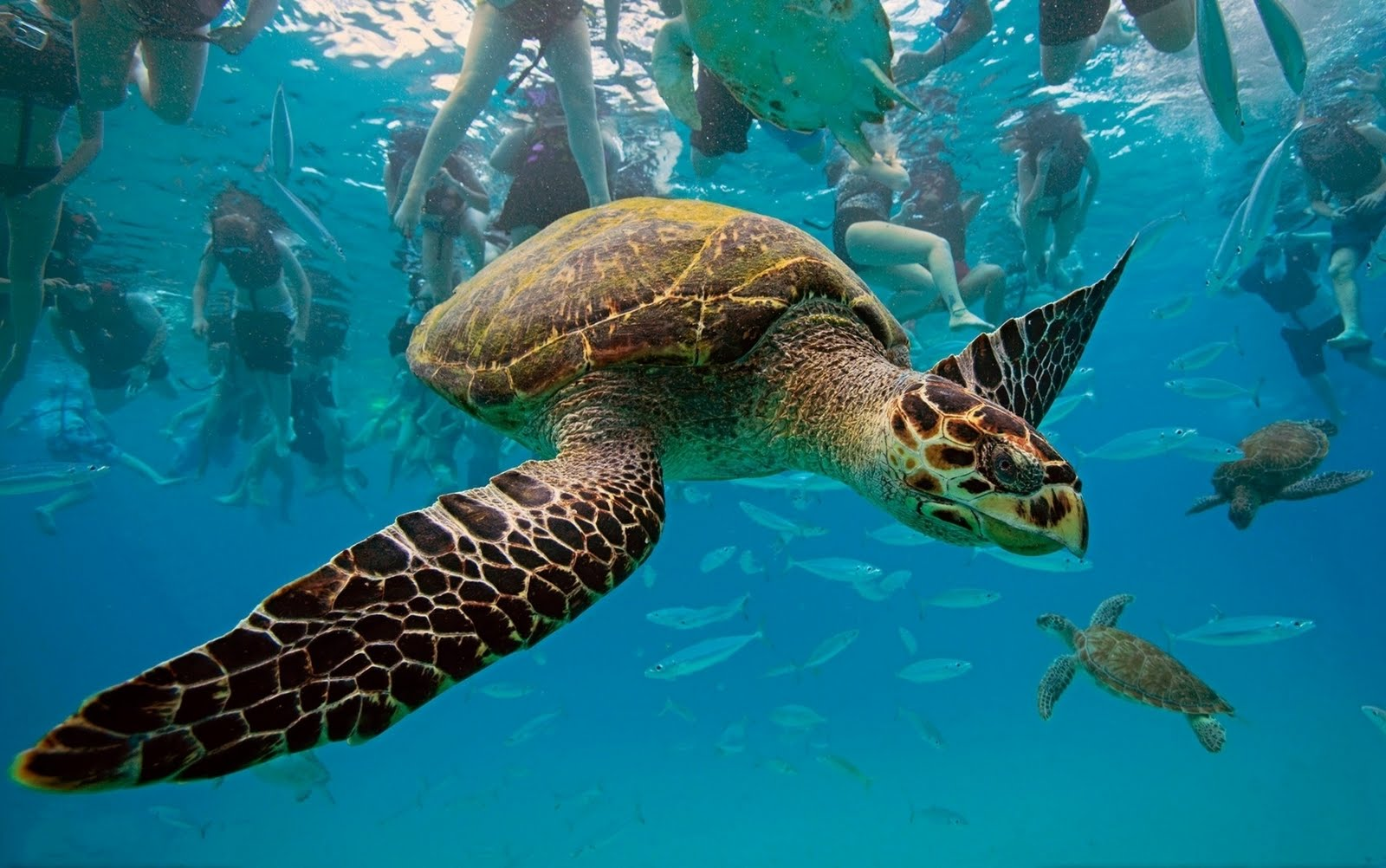 sea turtles Sea turtles news find breaking news, commentary, and archival information about sea turtles from the latimes.