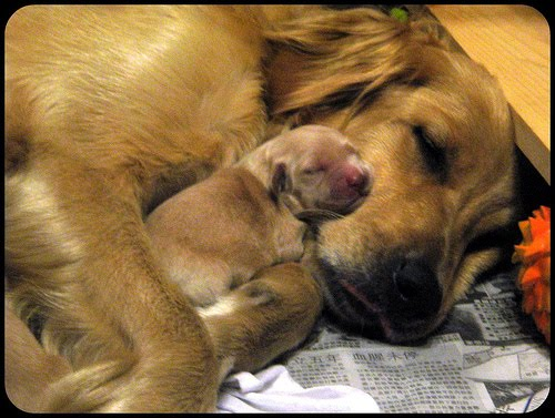 Dog Panting A Day After Giving Birth