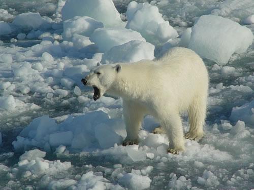 Le caf philo de droite il faut sauver les ours polaires - Animaux pole nord ...