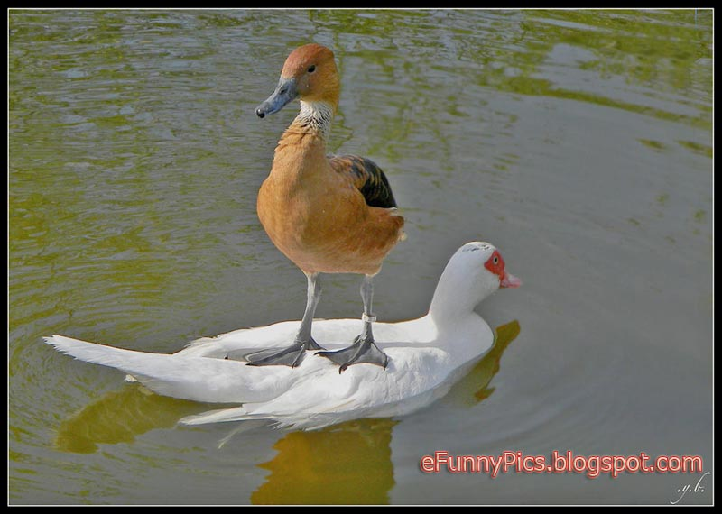 Surfboard for Duck