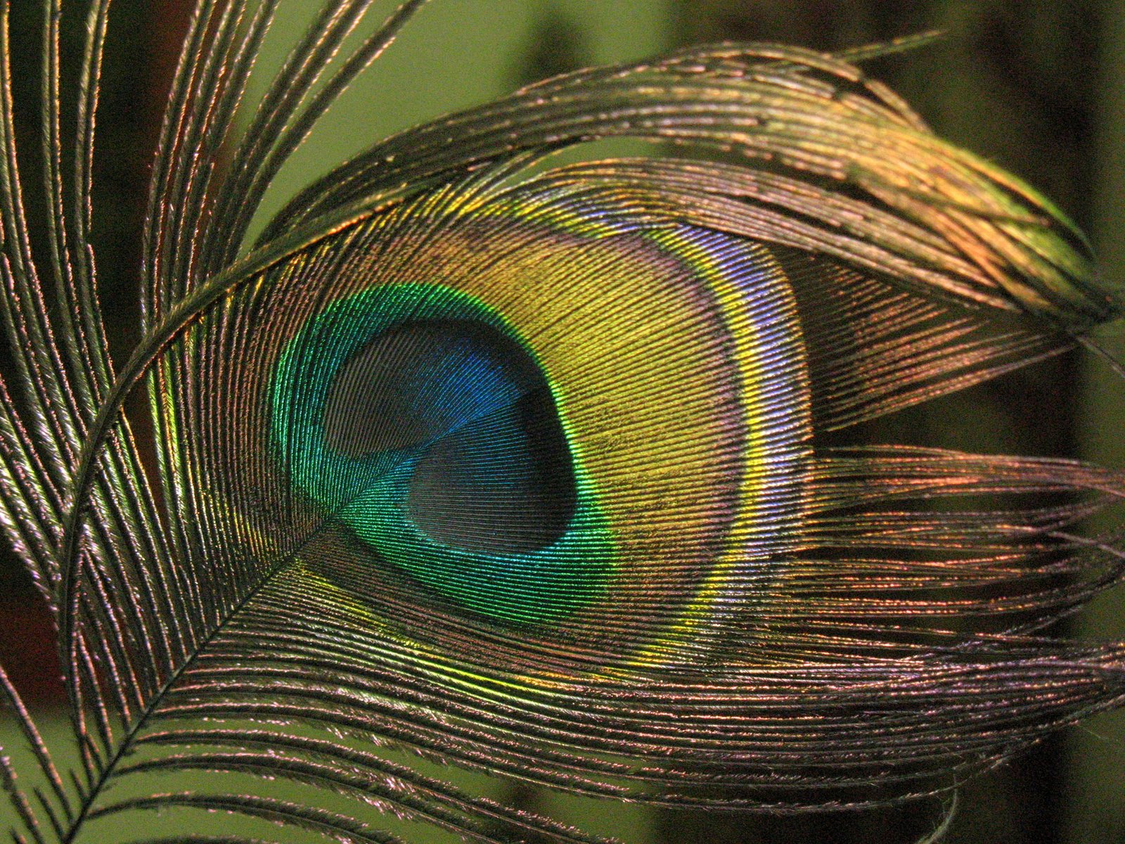 Labels beautiful peacock hd wallpapers - Beautiful peacock feather ...
