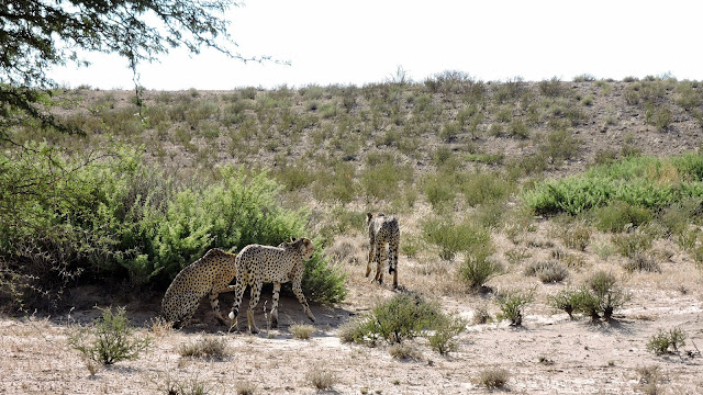 Cheetahs in the Kgalagadi Transfrontier Park