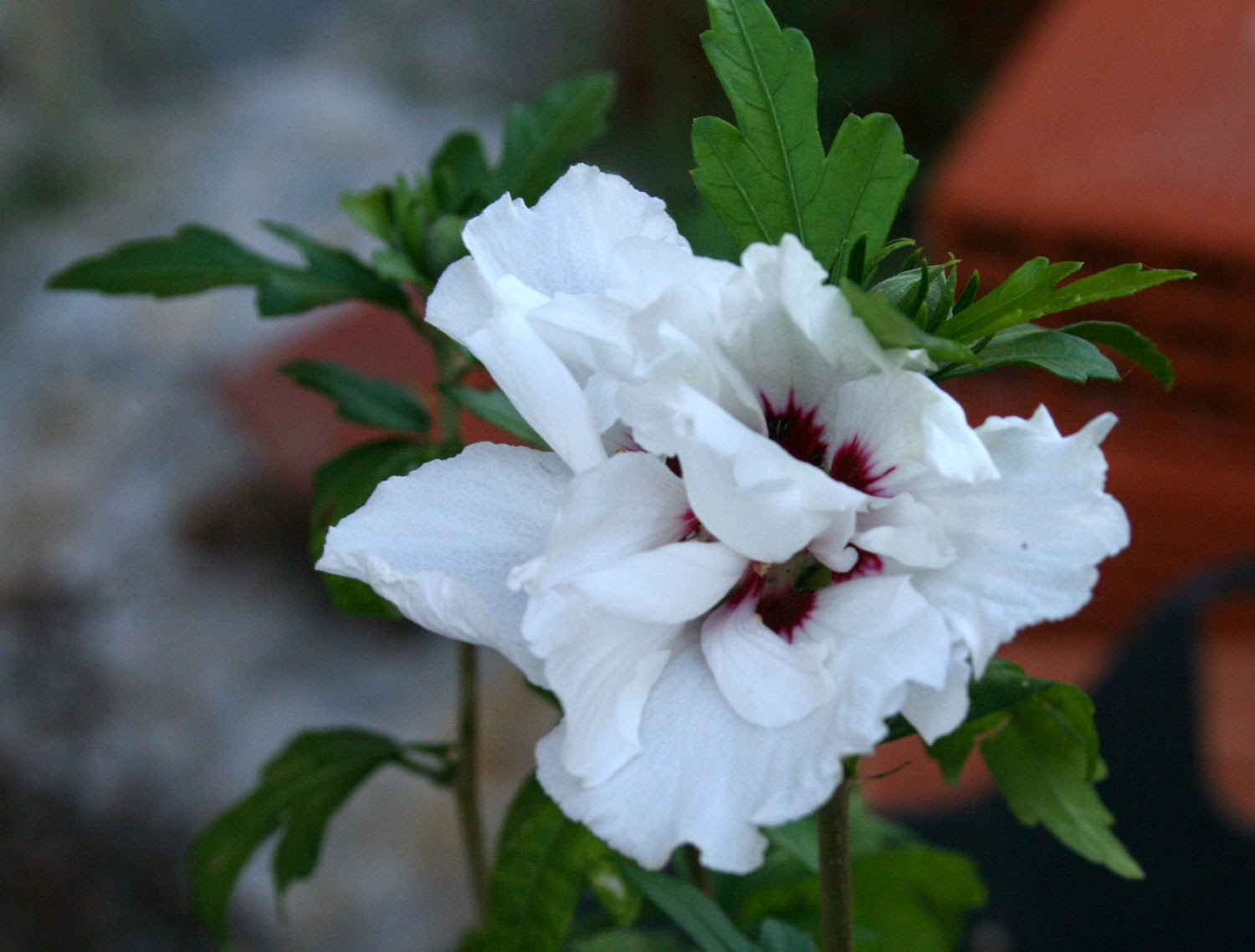 The first Hibiscus flower