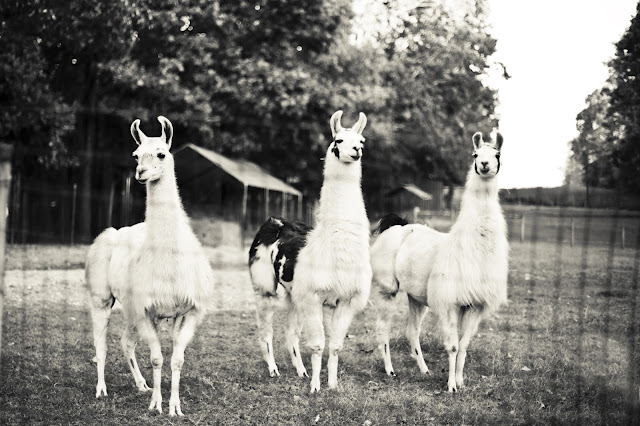 Autumn Wedding with Llamas by Kelly Is Nice Photography - www.kellyisnice.com