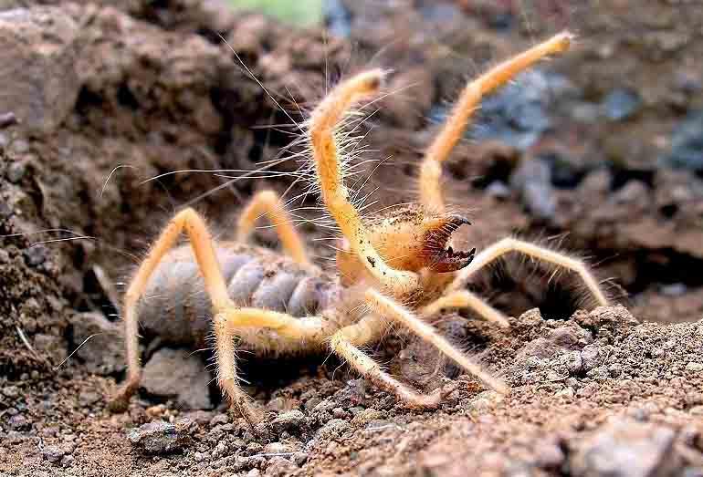 Camel Spider Maw