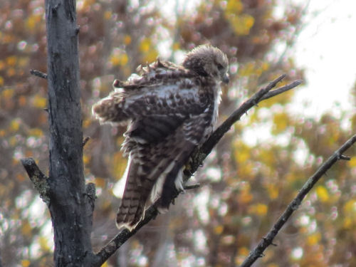 baby red-tail hawk