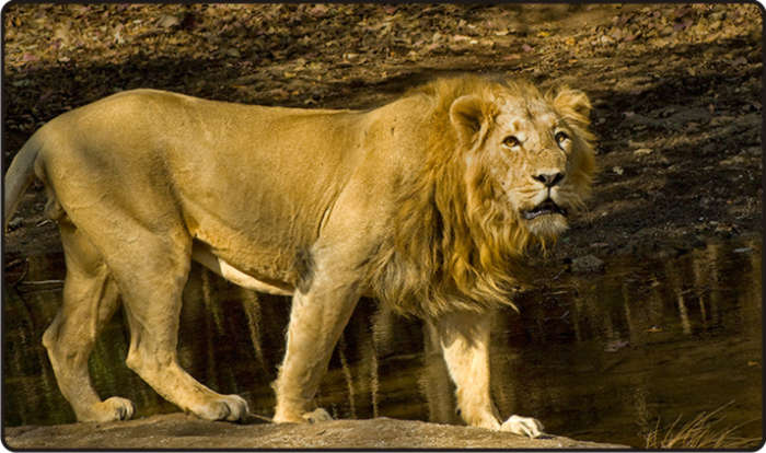 Asiatic Lion Facts