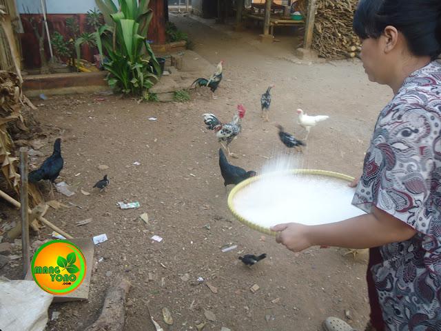 FOTO : Napian beas sangat dinanti - natikan ayam... Hehehhe.