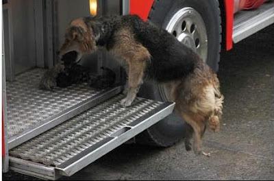 perra llevando a cachorros al auto de bomberos para salvarlos del incendio