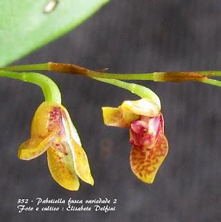 Pleurothallis hypinicola, Pabstiella hypinicola, Specklinia hypinicola, Stelis hypinicola