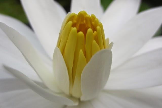 Hoa sung trang