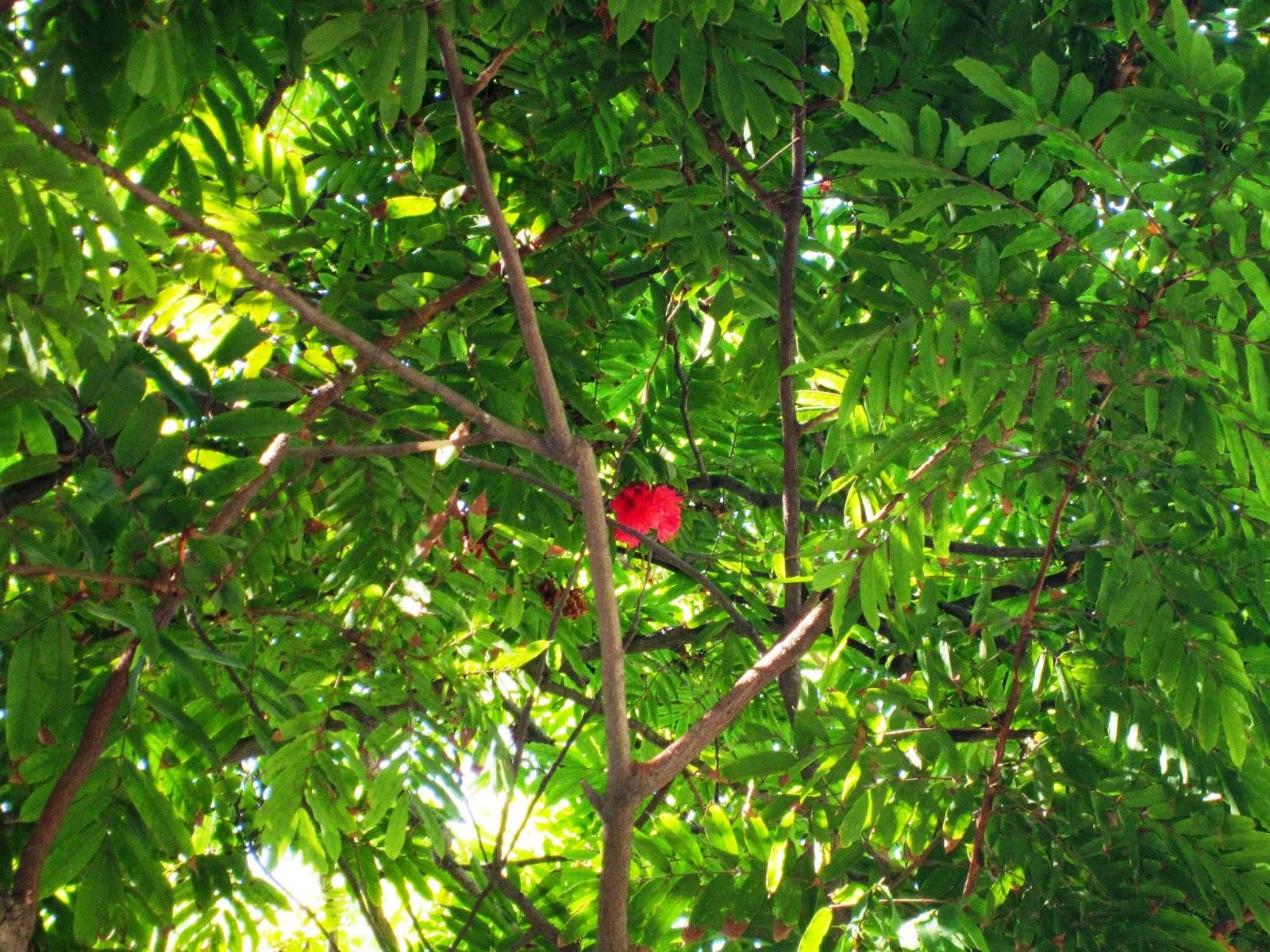 Rose of Venezuala