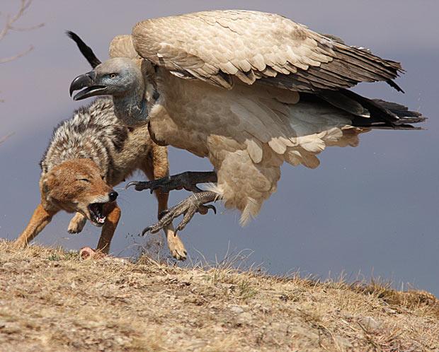 jackal-vulture_
