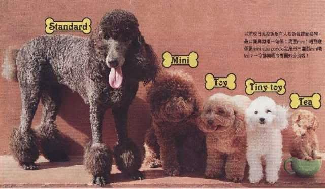 Poodle comparison sizes