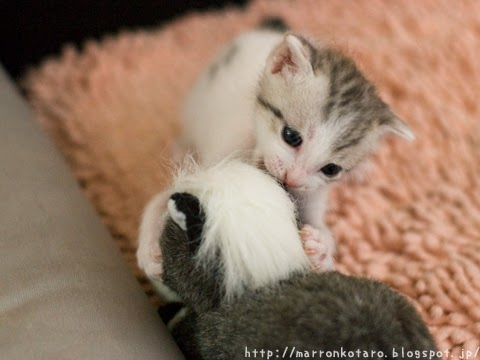 ぬいぐるみと戦う子猫