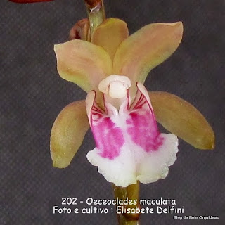 Angraecum maculatum, Limodorum maculatum, Aerobion maculatum, Eulophia maculata.