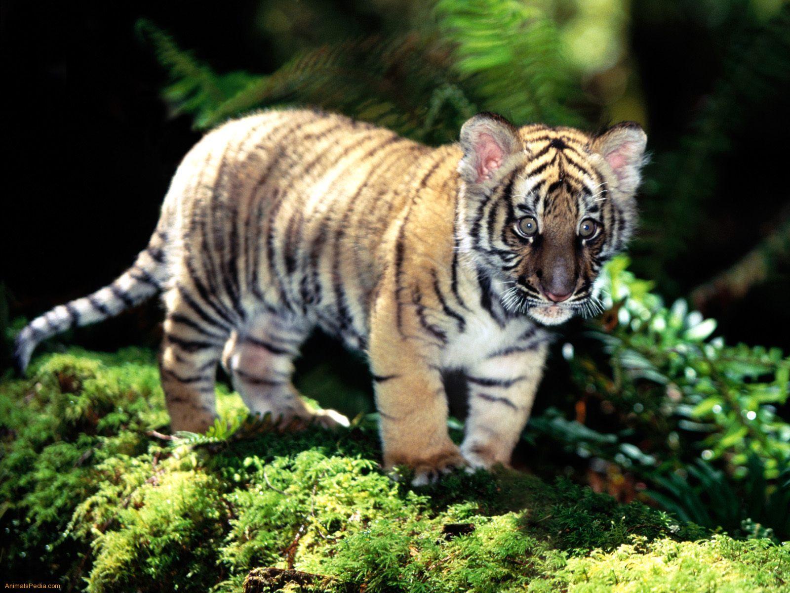 Encyclopaedia of Babies of Beautiful Wild Animals: Tiger Cubs Cute Siberian Tiger Cubs