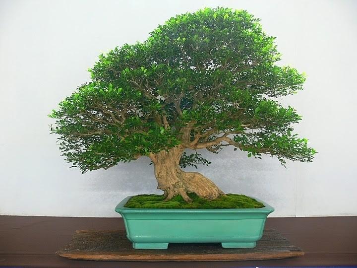 Murraya Paniculata 七里香盆栽展览