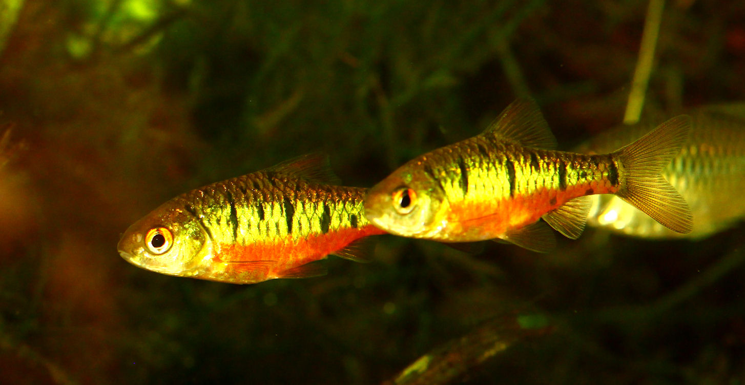 Fugupuff for Gold barb fish