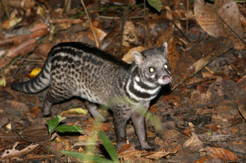 civet cat poop