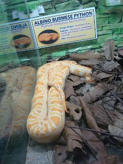 albino python in zoobic safari