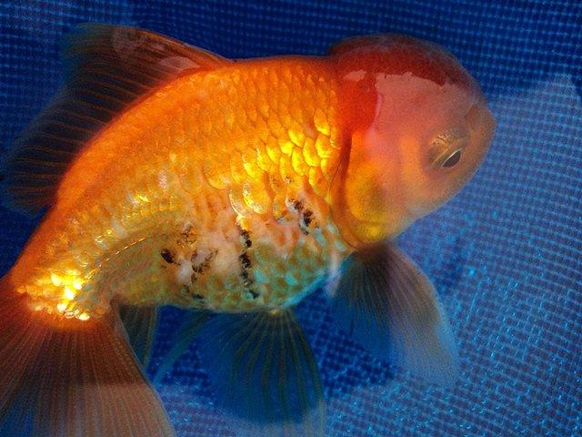 Aquassius acuarismo carassius for Enfermedades de peces goldfish