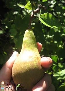 pears recipe conference bio history british organic muslim