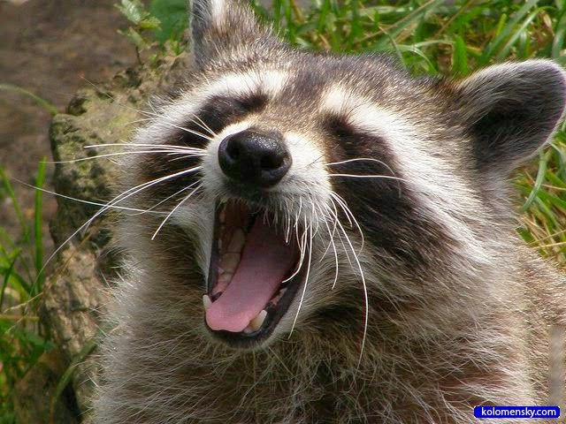 racoons for sale