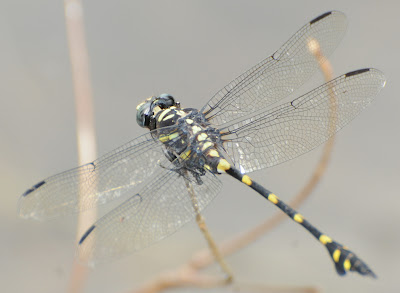 Common Flangetail (Ictinogomphus decoratus)