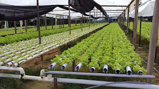 Cultivo de hortaliças em sistema hidropônico cresce em 60% na zona rural de Manaus