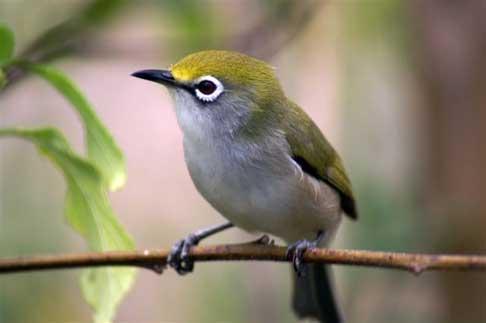 Mengenal Pleci, Burung Kecil Berkaca Mata ~ Peliharaan.
