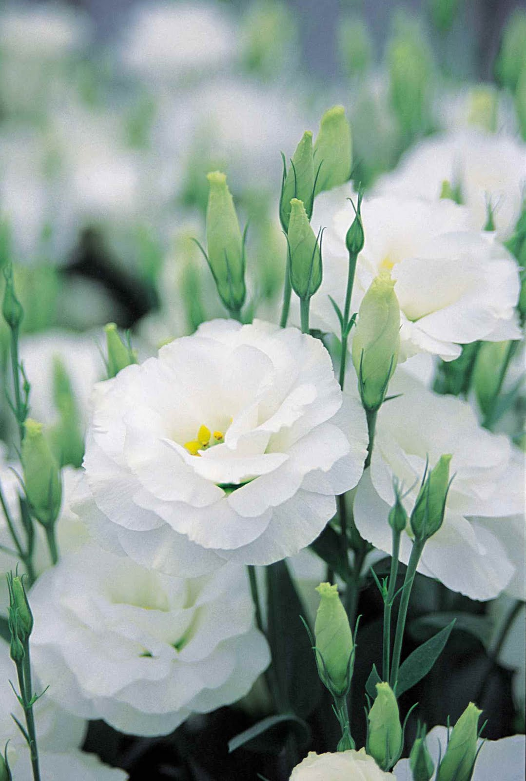 Simple Petals: Floral Dreams: Lisianthus