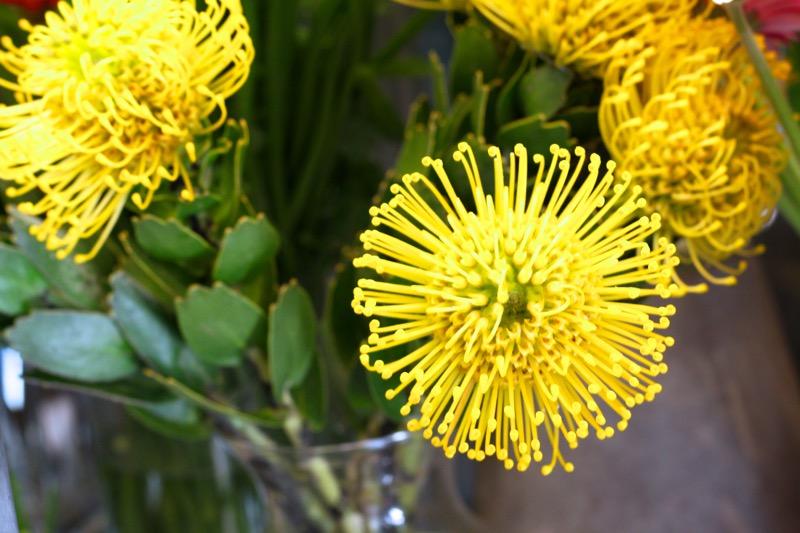 keltainen kukkiva neulatyyny protea