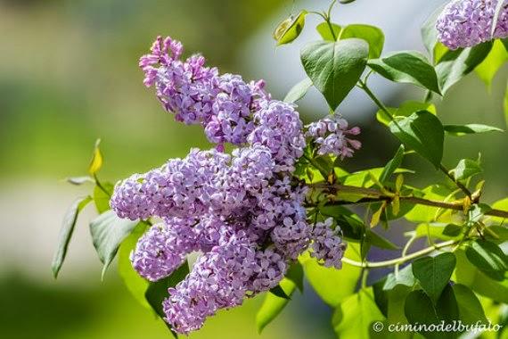Di umana cucina 25 aprile il profumo delle serenelle - Serenelle fiori ...