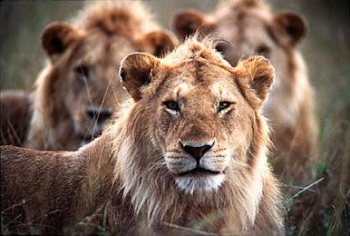 Leões na Toca