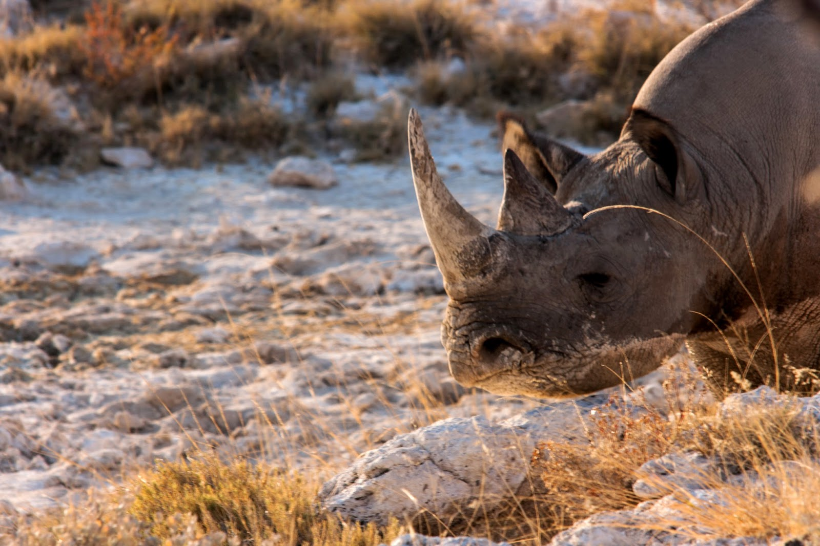 black rhino africa safari