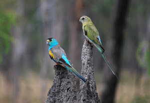 Golden-Shouldered Parrots