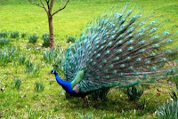 Morachi Chincholi Peacock Sanctuary