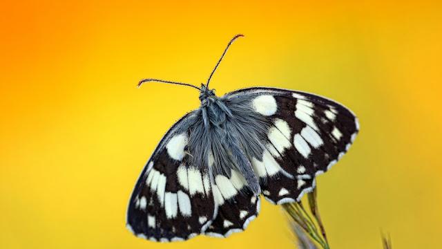 Mariposas con fondo amarillo