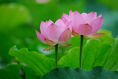 http://1.bp.blogspot.com/-Pi75wNYsx_A/UMGtCabQZxI/AAAAAAAAIJA/FMfcxAVzH5Q/s1600/12120917-blooming-lotus-flower-over-dark-background.jpg